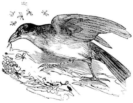 Greater Honeyguide or Indicator indicator, vintage engraving. Old engraved illustration of Greater Honeyguide, eating a flying insect.
