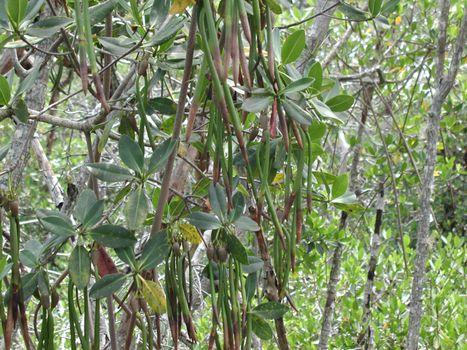 Florida mangrove swamp trees and plants.
