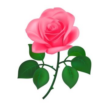 Pink rose on the white background