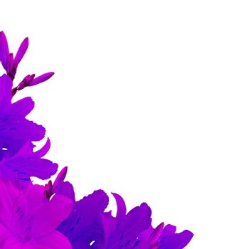 Violet Lilies, Isolated On White Background, Vector Illustration
