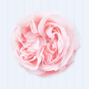 Pink Rose With Gradient Mesh, Vector Illustration