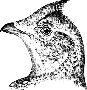 Sharp tailed Grouse in which upper parts closely and pretty evenly variegated with blackish brown vintage line drawing or engraving illustration.