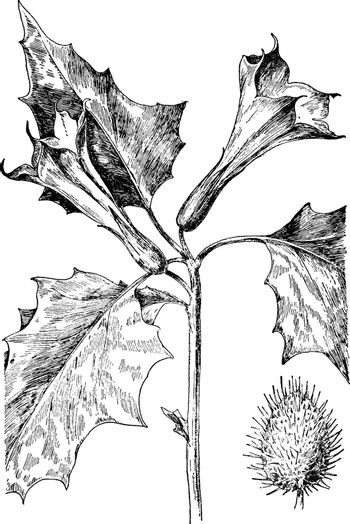 The stem is leafy, smooth. The flowers are trumpet-shaped, with purple. The flowers open at night, vintage line drawing or engraving illustration.