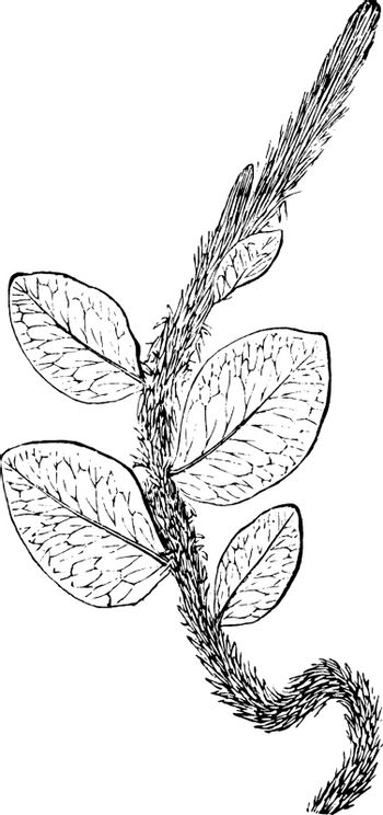 In this picture showing lots of thorn in its branches, vintage line drawing or engraving illustration.