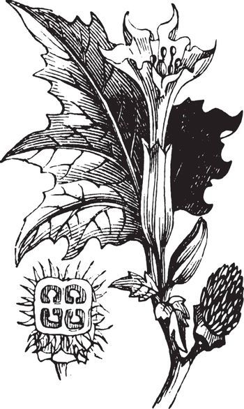 Picture shows Thorn Apple. It has angular toothed leaves, large funnel shaped flowers, prickly, globular, and 4 valved pods. Stem forks off repeatedly into branches, each fork forms leaf, single, erect flower, vintage line drawing or engraving illustration.
