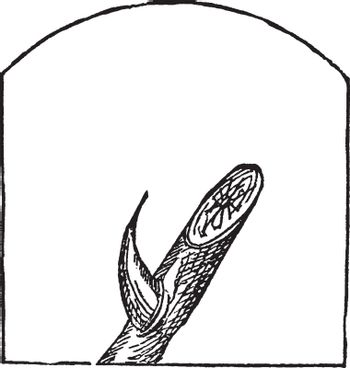 The thorns usually grow on the branches, the bite is a curved shape and the front side is sharp, vintage line drawing or engraving illustration.