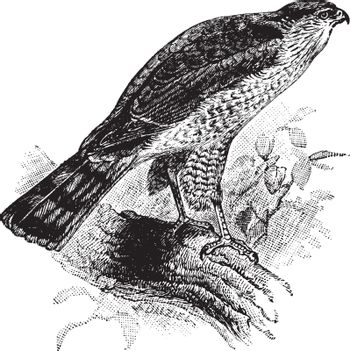 Sharp Shinned Hawk is a small hawk in the Accipitridae family of birds of prey, vintage line drawing or engraving illustration.