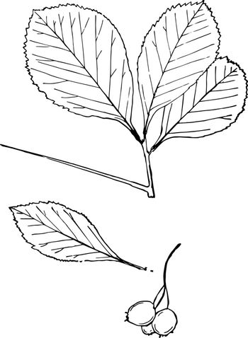 There are leaves of Genus Crataegus, L. and it has long thorn on its branch. One leaf and fruits seen aside of branch, vintage line drawing or engraving illustration.