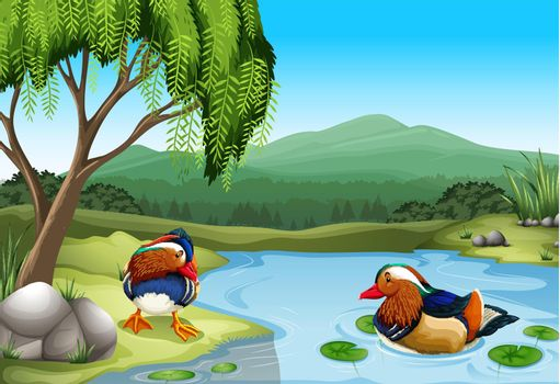 Two colorful ducks in the nature