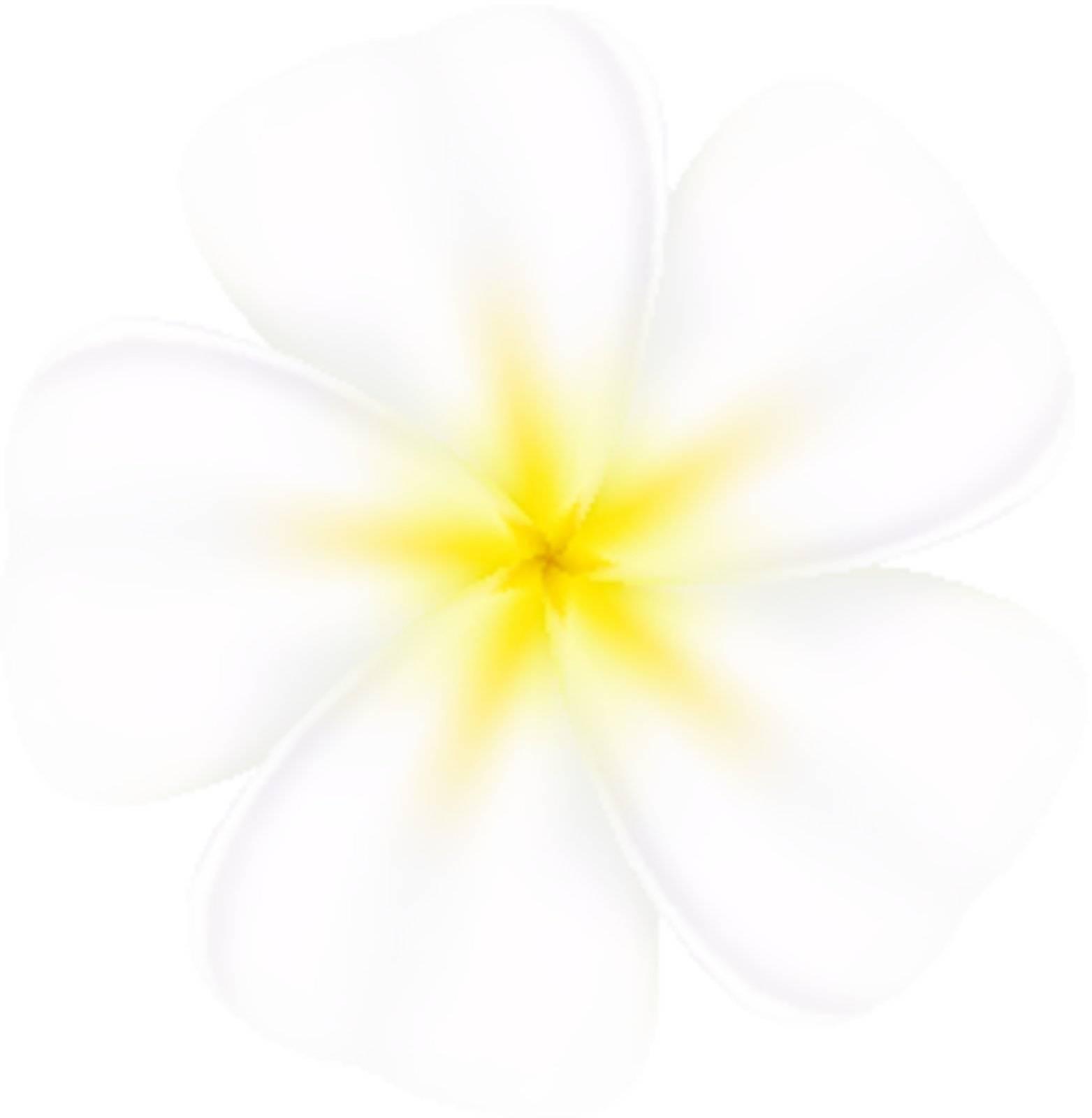 Realistic and beautiful frangipani. Illustration on white background