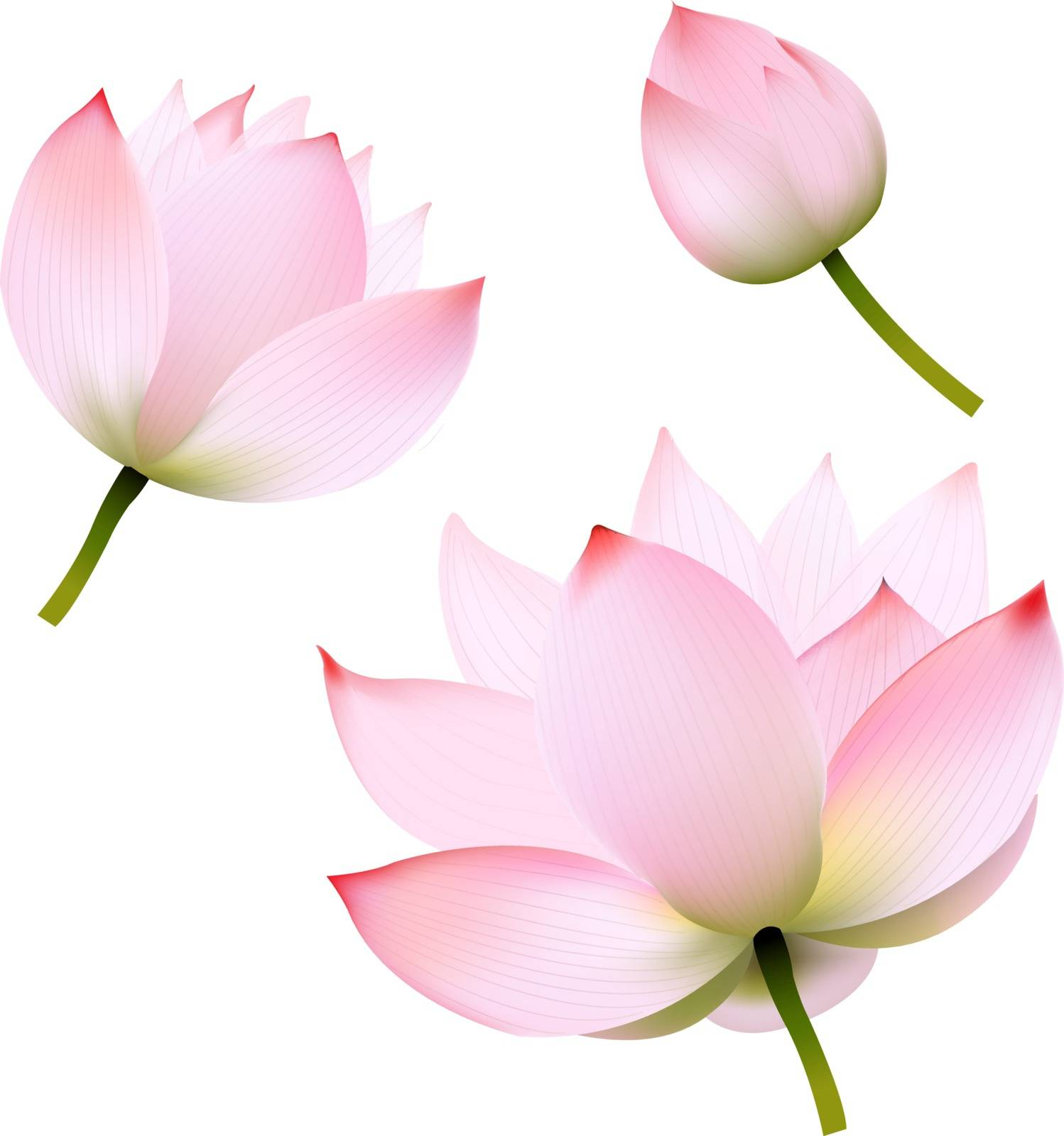 Pink Lotus With Gradient Mesh, Vector Illustration