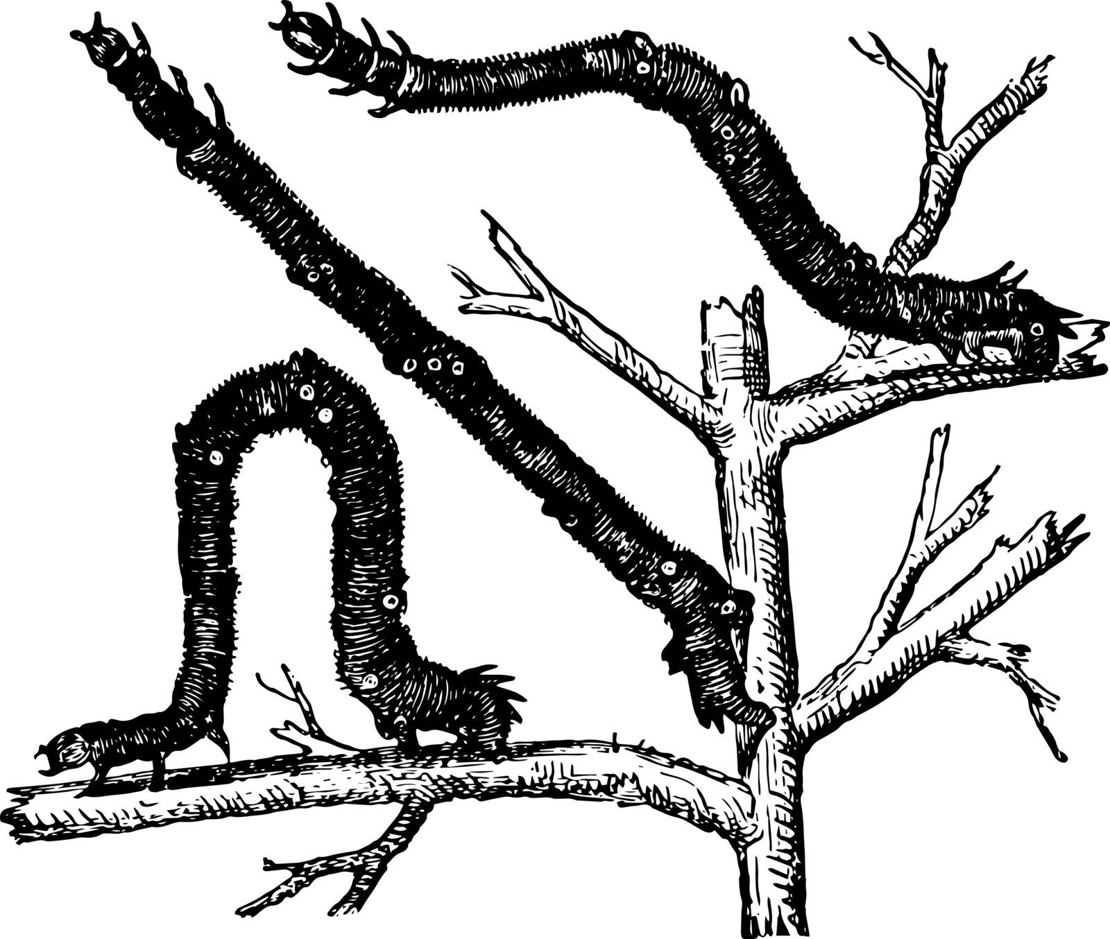 Caterpillar of the Canary Shouldered Thorn they embrace the stem of the leaf or twig with their hinder or intermediate legs vintage line drawing or engraving illustration.