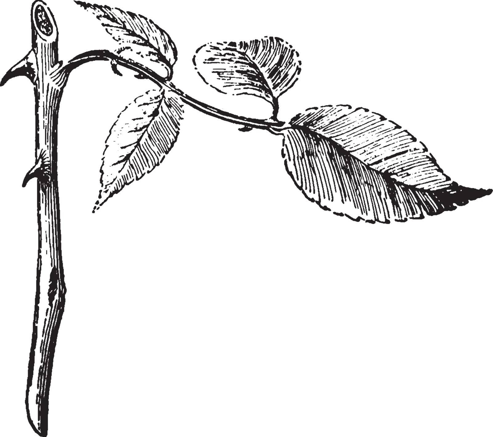 In this picture shows a stems. The stems are thin and rounded. The leaves are attached to stems. The thorn attached to stem. The thorns are very sharp, vintage line drawing or engraving illustration.