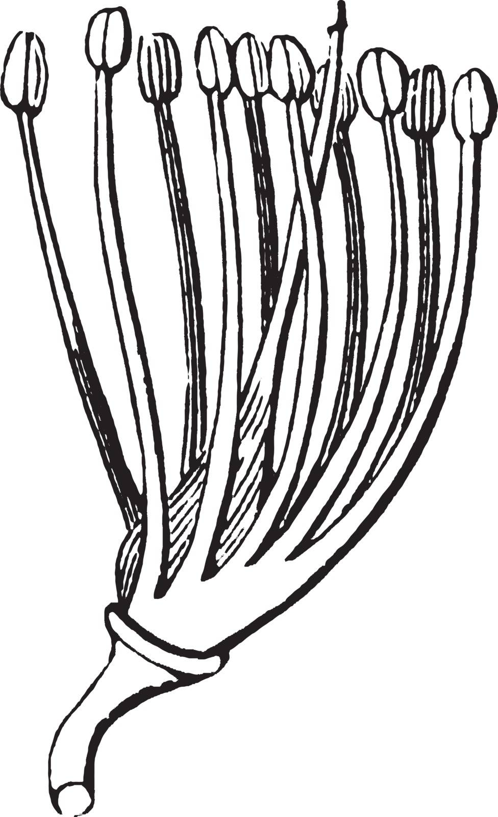 The flower of Amorpha, in the pea family, with petals removed. It grows as a glandular, thorn less shrub which can reach 5 or 6 meters in height and spread to twice that in width, vintage line drawing or engraving illustration.