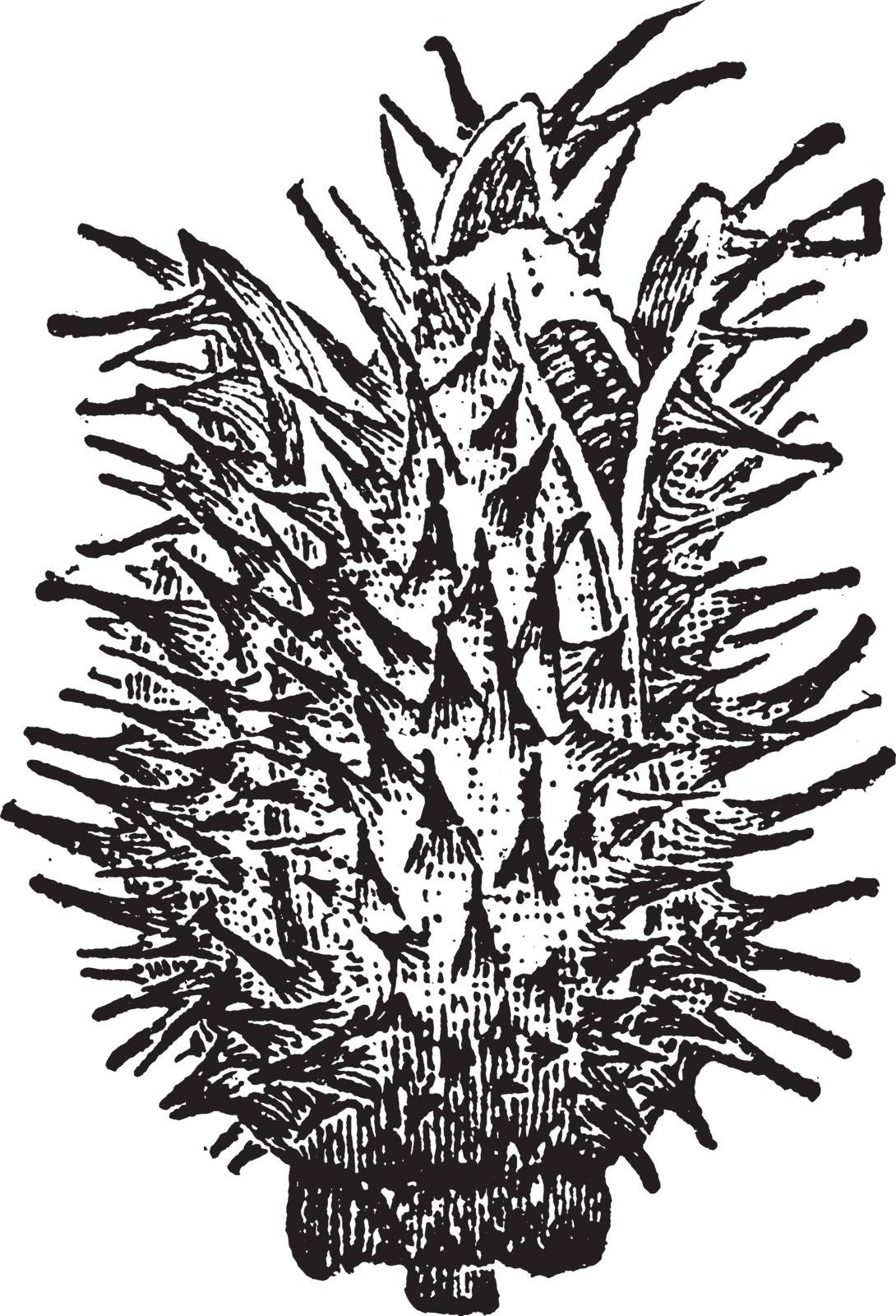 The Thorn Apple Bud is a spiny capsule long and broad. The seeds are numerous in 3 compartments within the casing, vintage line drawing or engraving illustration.