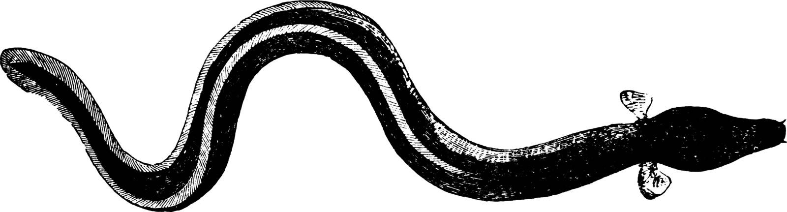 Sharp Nosed Eel weighs from one to twenty five pounds, vintage line drawing or engraving illustration.