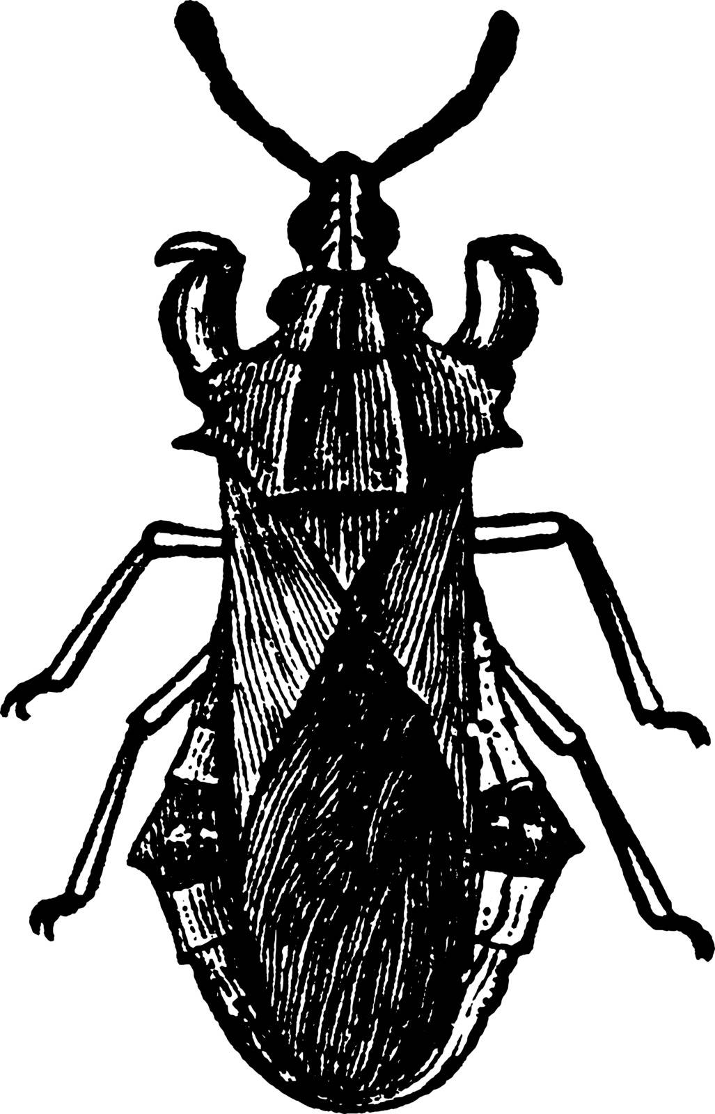 Jagged Ambush Bug after their habit of lying in wait for prey, vintage line drawing or engraving illustration.